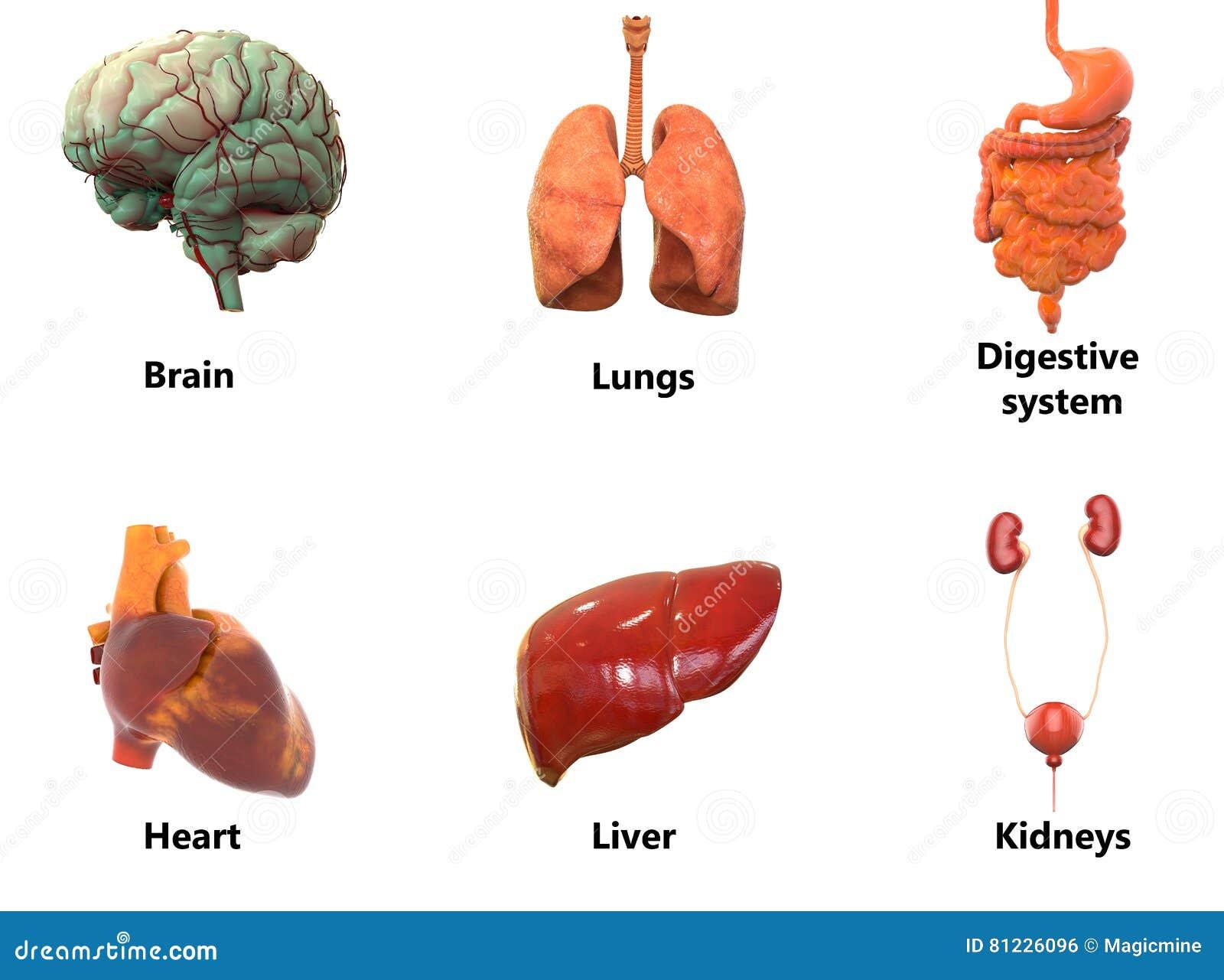 Menschlicher Körper-Organe AnatomyBrain, Lungen, Verdauungssystem ...
