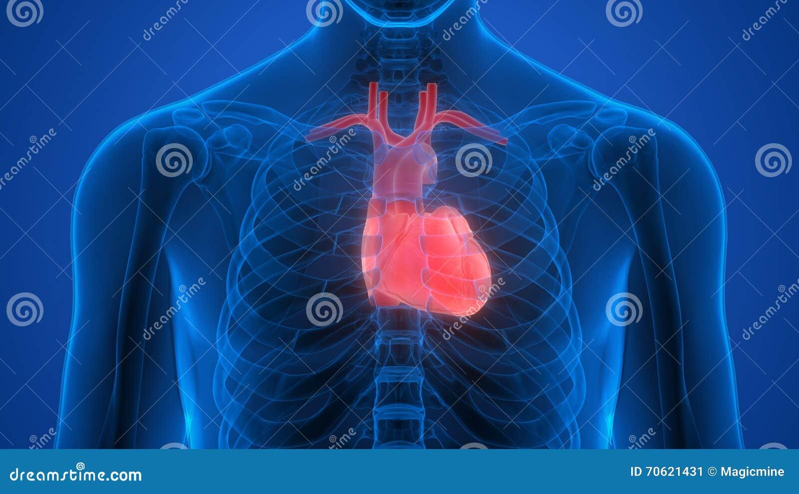 Menschlicher Körper-Organe (Herz) Stock Abbildung - Illustration von ...
