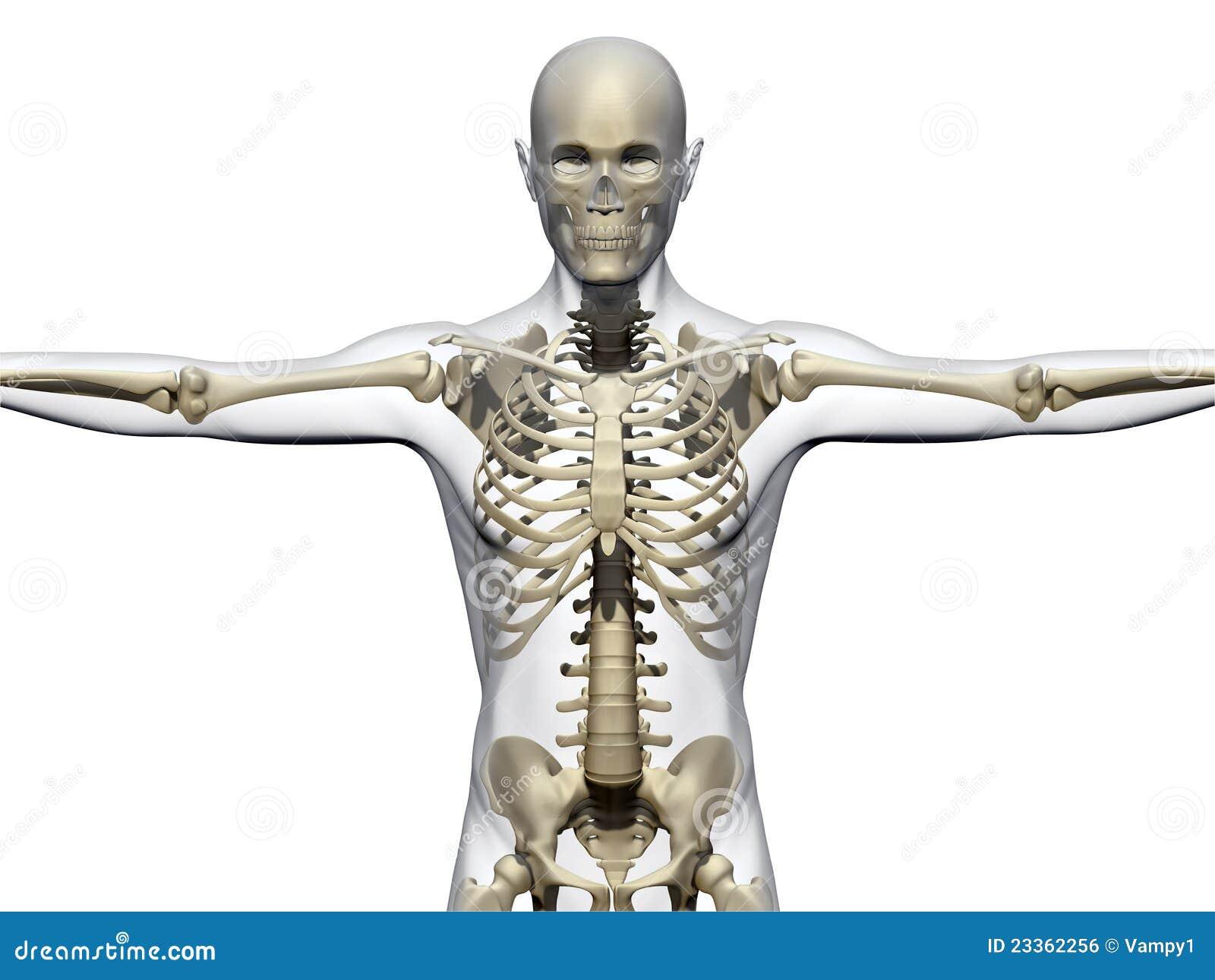 Menschlicher Körper Und Skelett Stock Abbildung - Illustration von ...