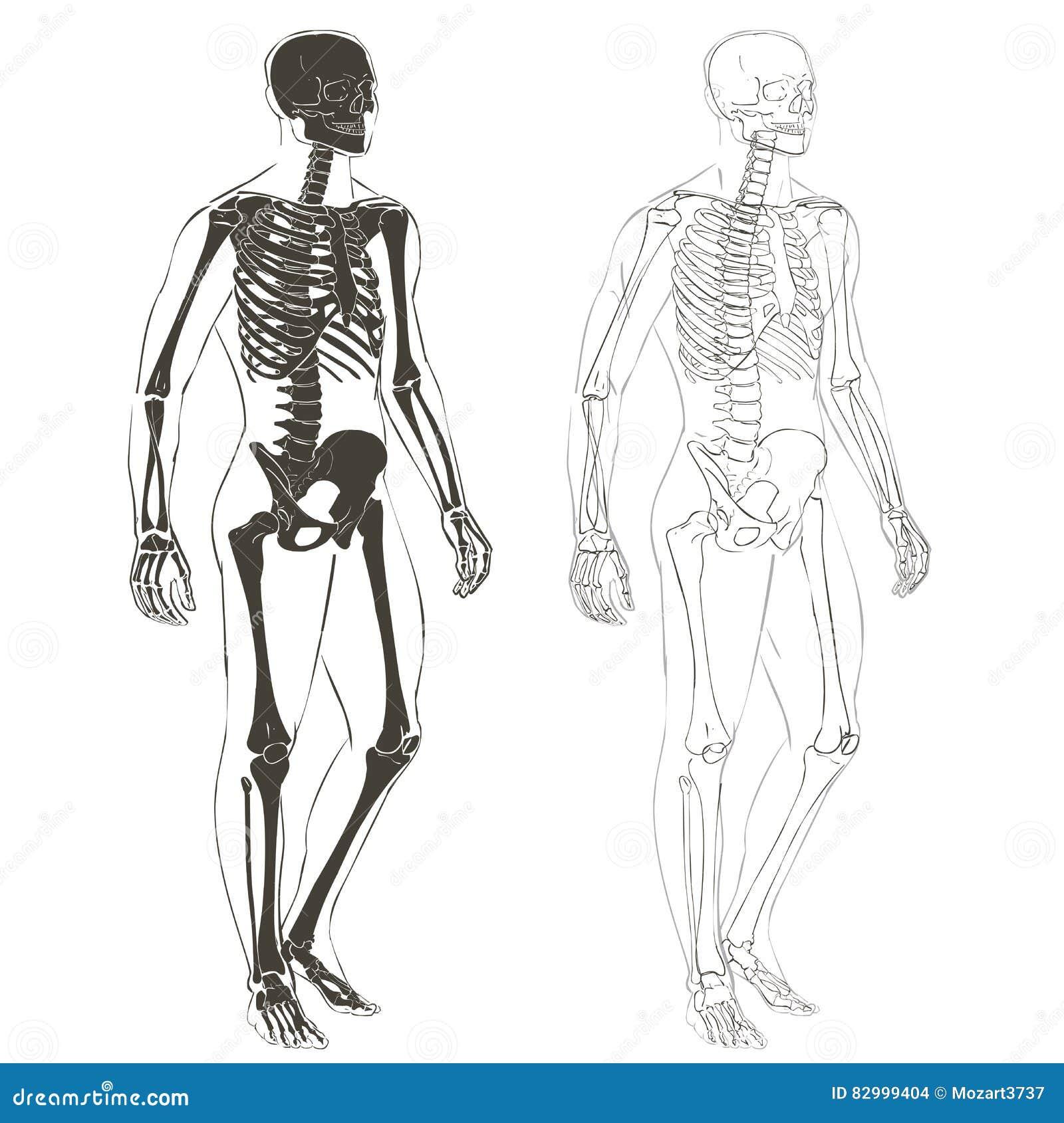 Menschlicher Körper Und Skelett Vektor Abbildung - Illustration von ...