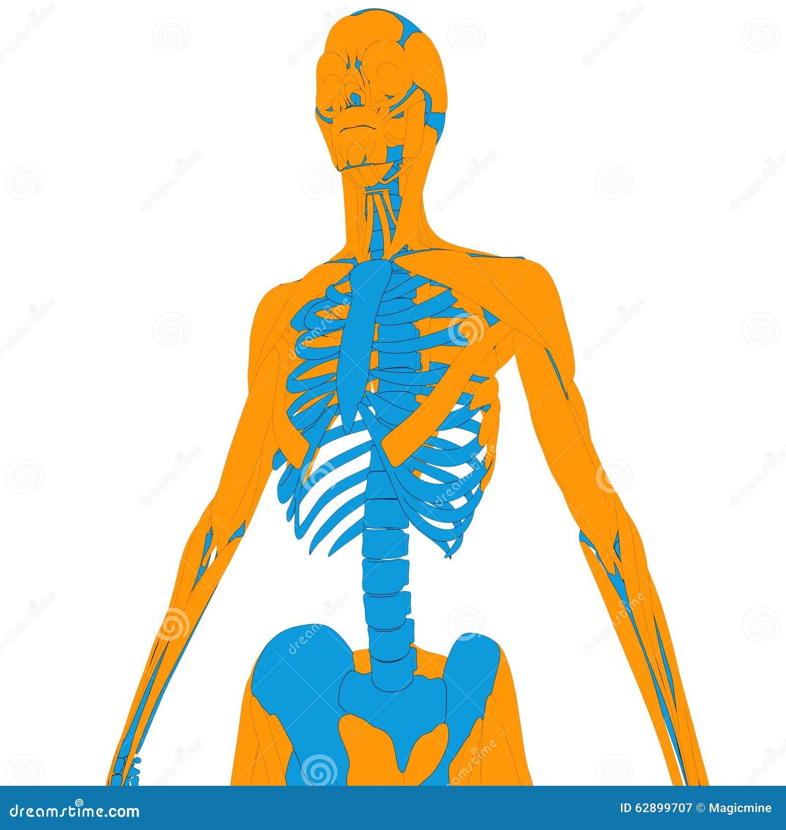 Erfreut Skelettmuskel Systemdiagramm Zeitgenössisch - Menschliche ...