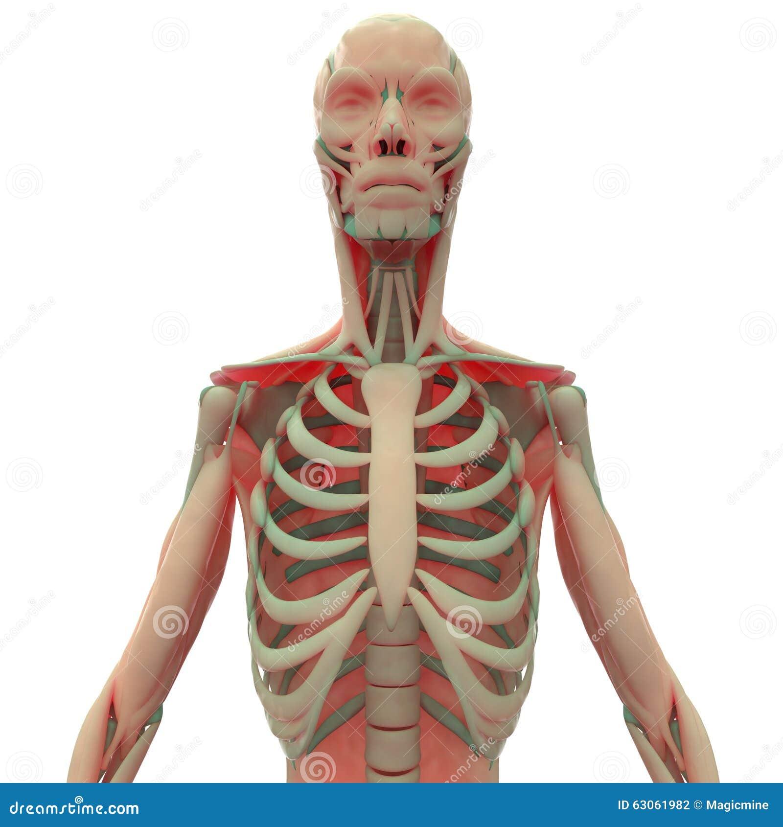 Menschlicher Muskel-Körper Mit Rippen Stock Abbildung - Illustration ...