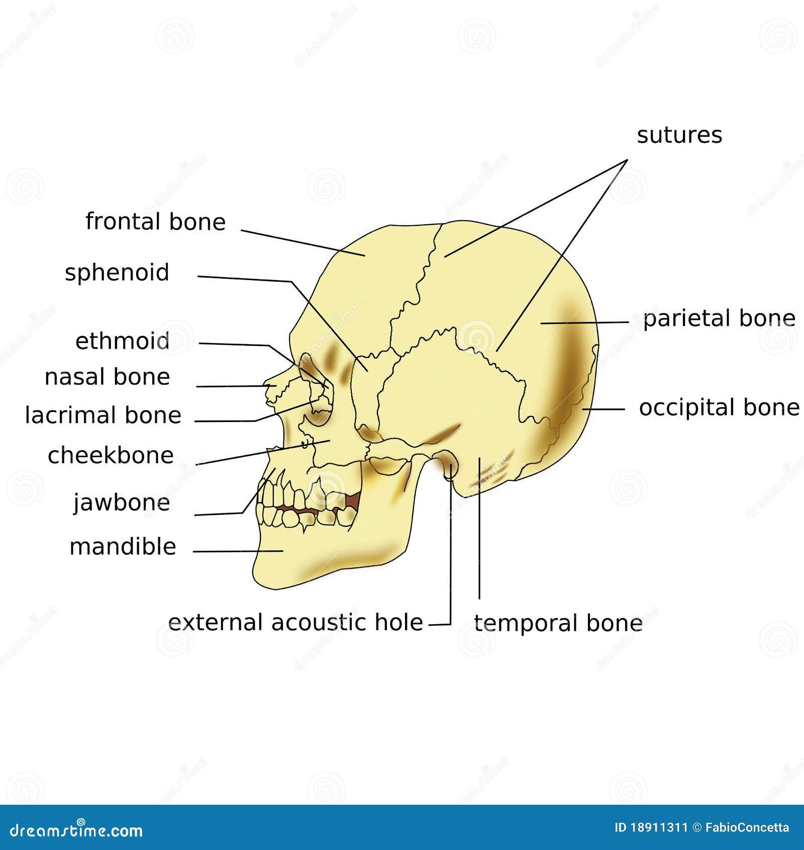 Nett Menschlicher Schädel Anatomie Diagramm Fotos - Menschliche ...
