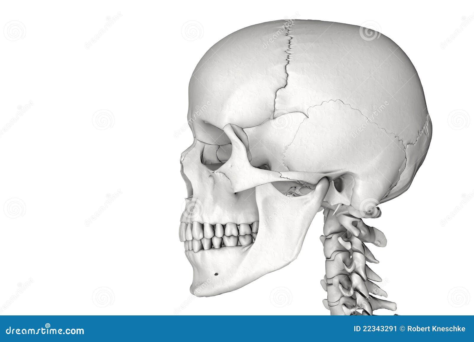 Berühmt Schädel Der Menschlichen Anatomie Bilder - Menschliche ...