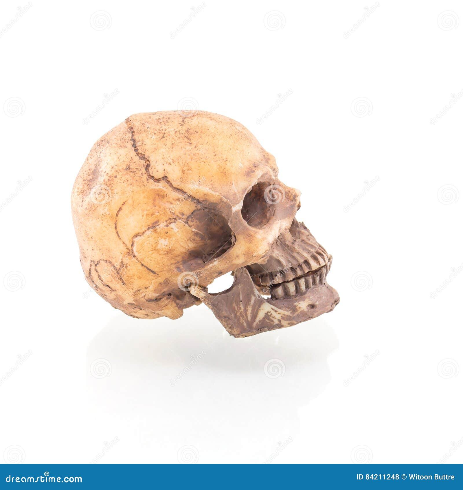 Menschlicher Schädel getrennt