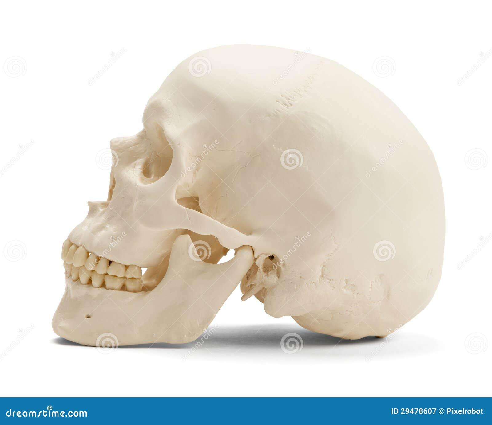 Ausgezeichnet Schädel Diagramme Zeitgenössisch - Anatomie Ideen ...