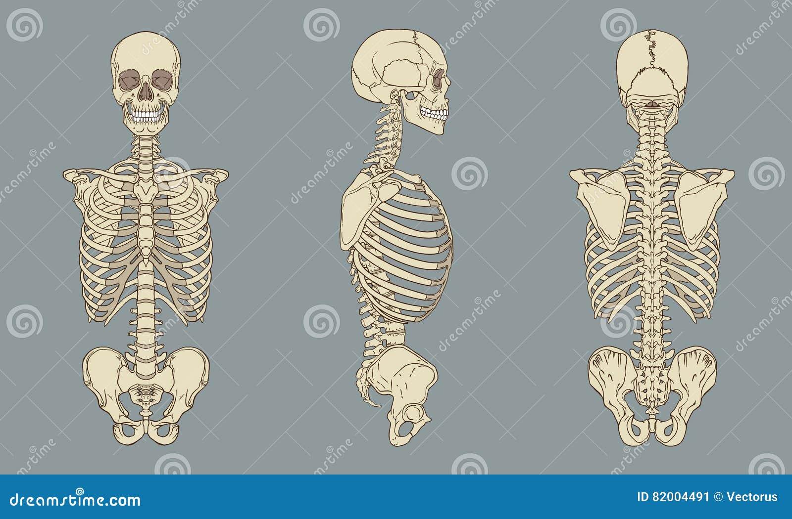 Menschlicher Torso-skelettartiger Anatomie-Satz-Vektor Vektor ...