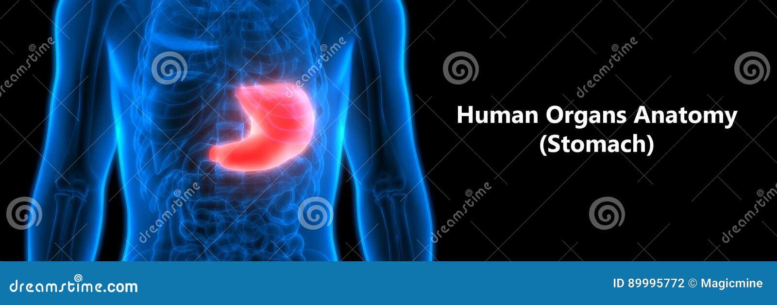 Menschlicher Verdauungssystem-Anatomie-Magen Stock Abbildung ...