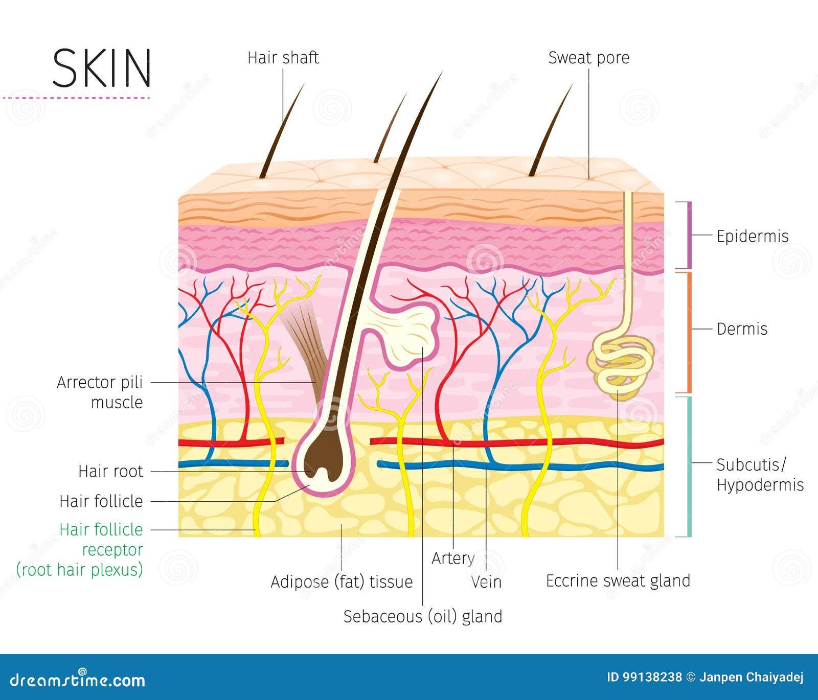 Menschliches Anatomie-, Haut-und Haar-Diagramm Vektor Abbildung ...