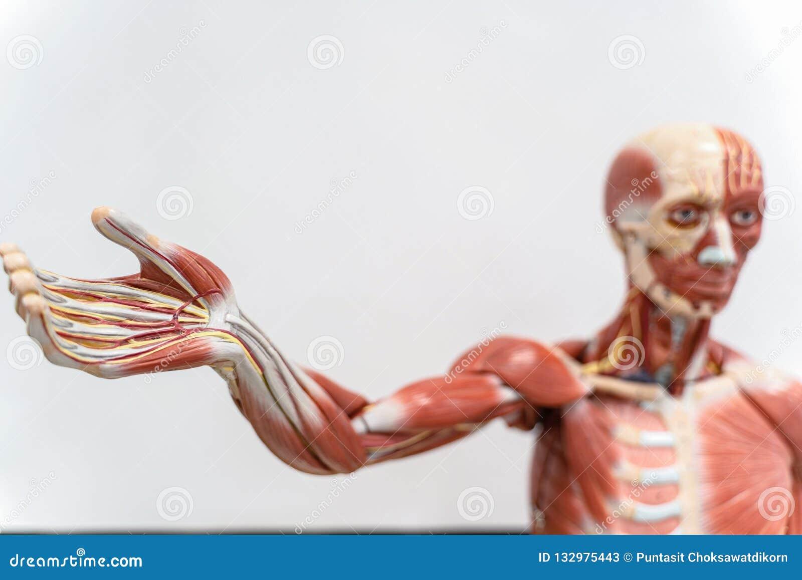 Menschliches Anatomie- und Physiologiemodell im Labor