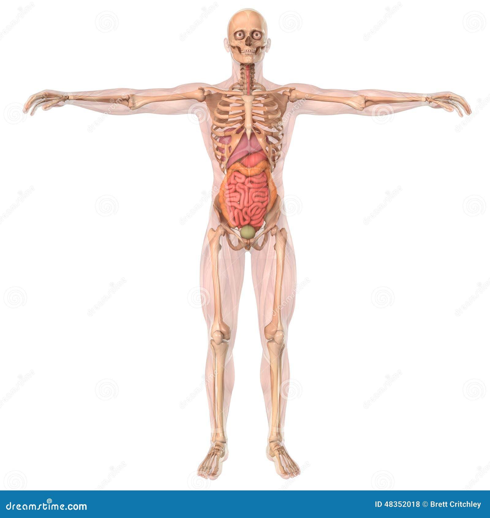 Männlicher Körper Mit Den Skelettmuskeln Und Den Organen Stock ...