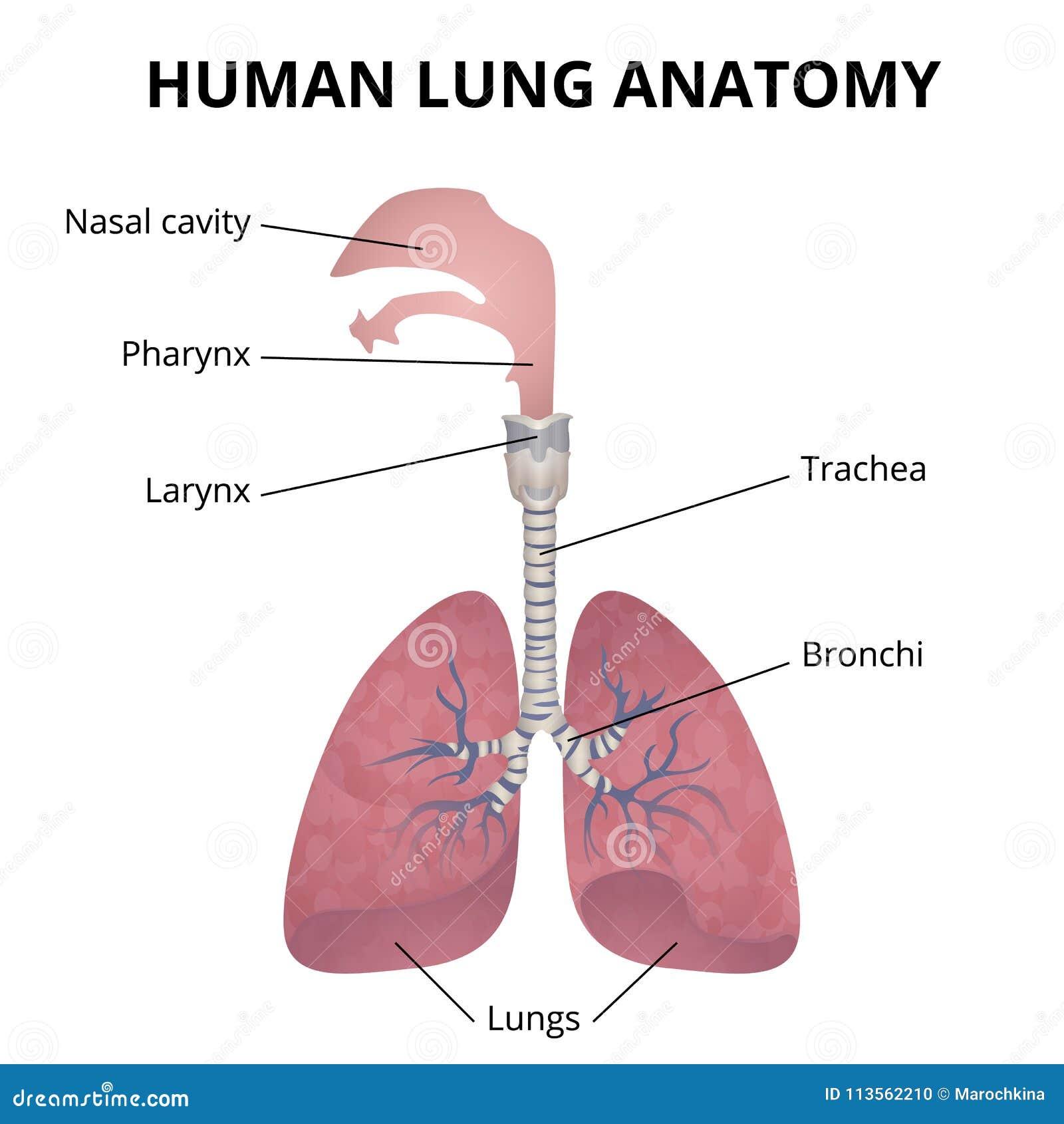 Wunderbar Anatomie Des Atmungssystems Aufgabe 23 Zeitgenössisch ...