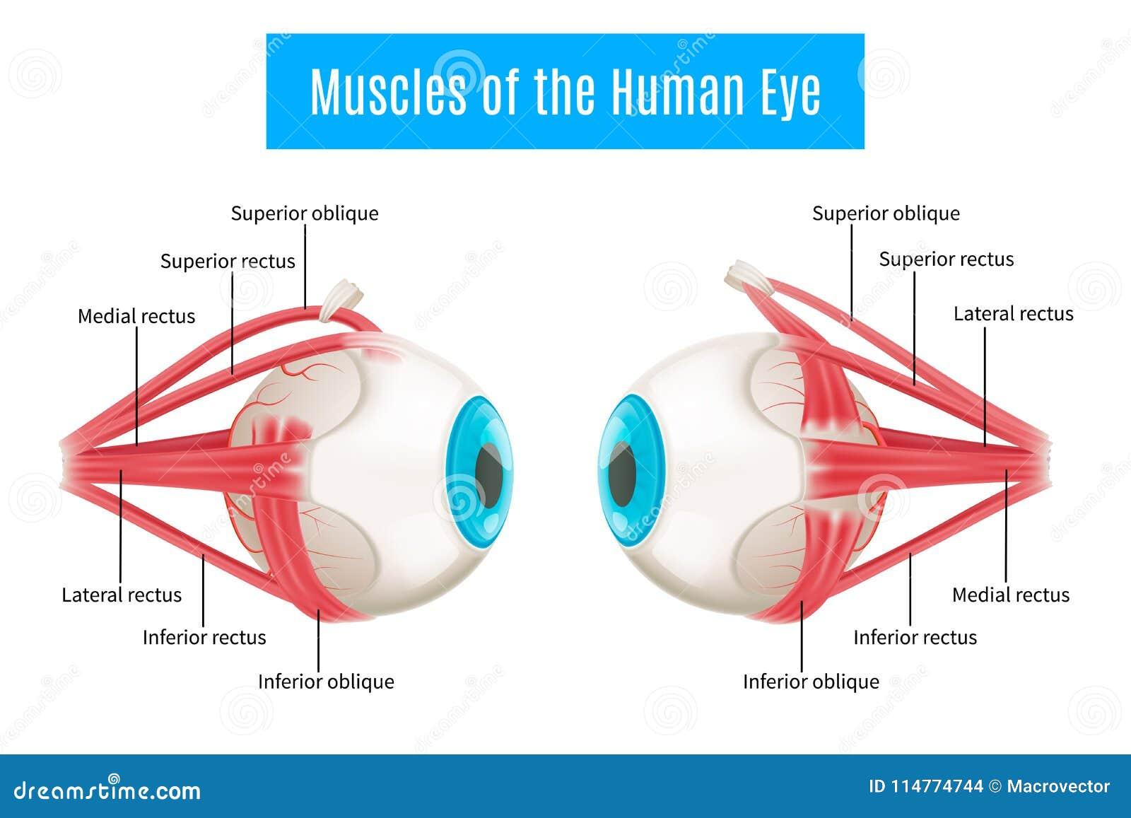 Menschliches Augen-Anatomie-Diagramm Vektor Abbildung - Illustration ...