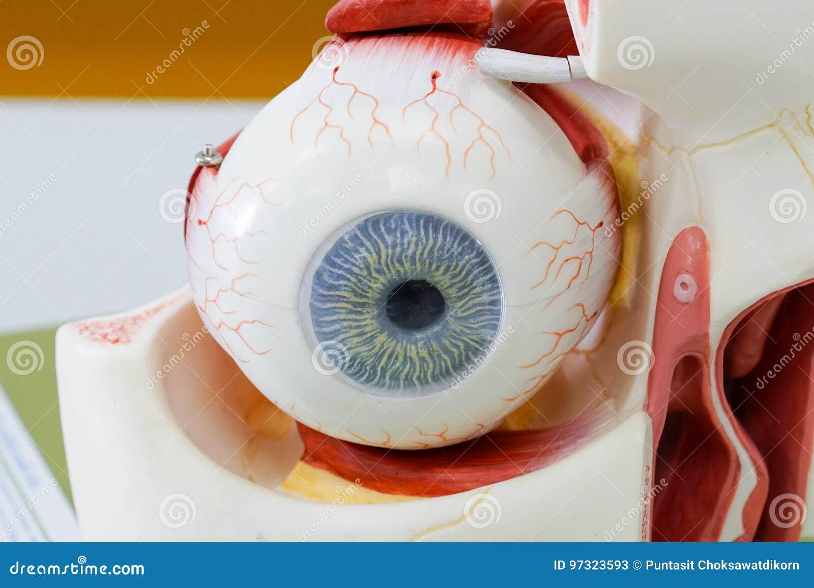 Menschliches Augen-Modell stockbild. Bild von anatomie - 97323593