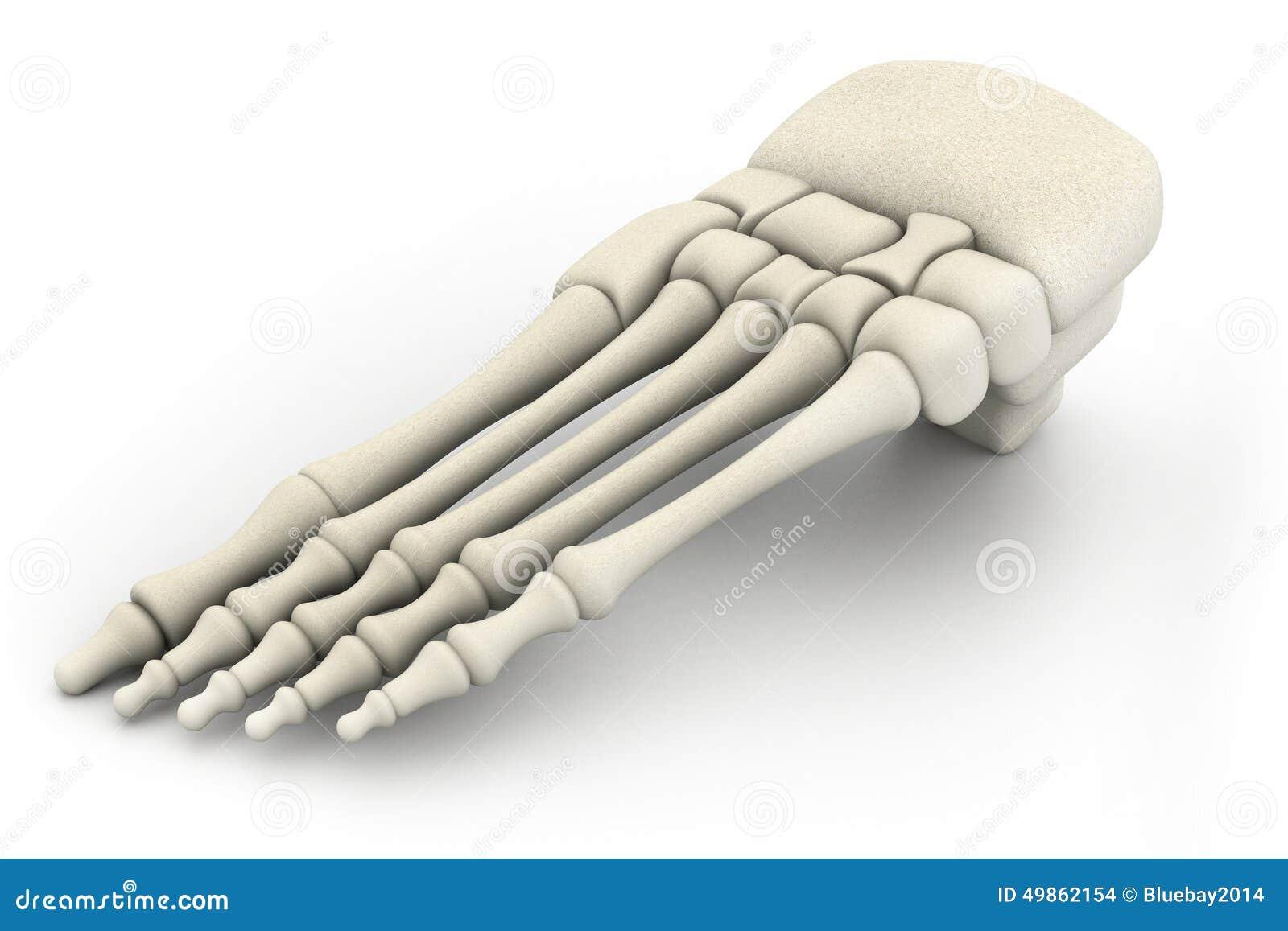 Menschliches Beinskelett stock abbildung. Illustration von ...