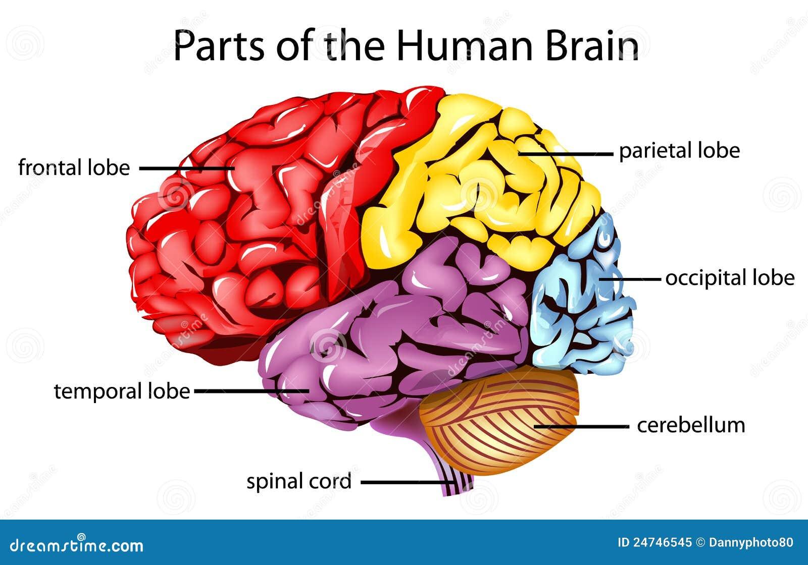 Tolle Malbuch Des Menschlichen Gehirns Fotos - Malvorlagen Von ...