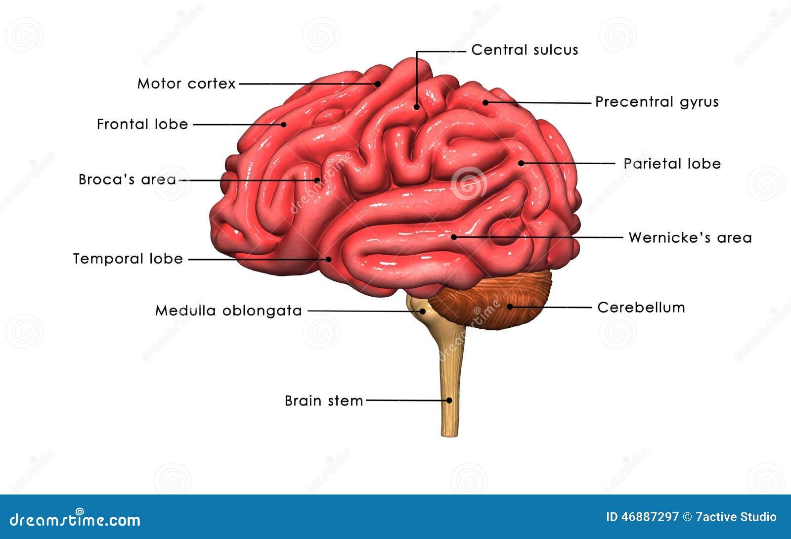Erfreut Gehirn Diagramm Beschriftet Zeitgenössisch - Menschliche ...