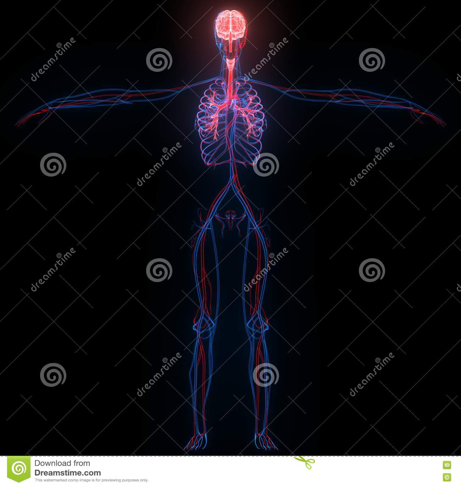 Menschliches Gehirn Mit Den Nerven, Den Adern Und Arterien-Anatomie ...