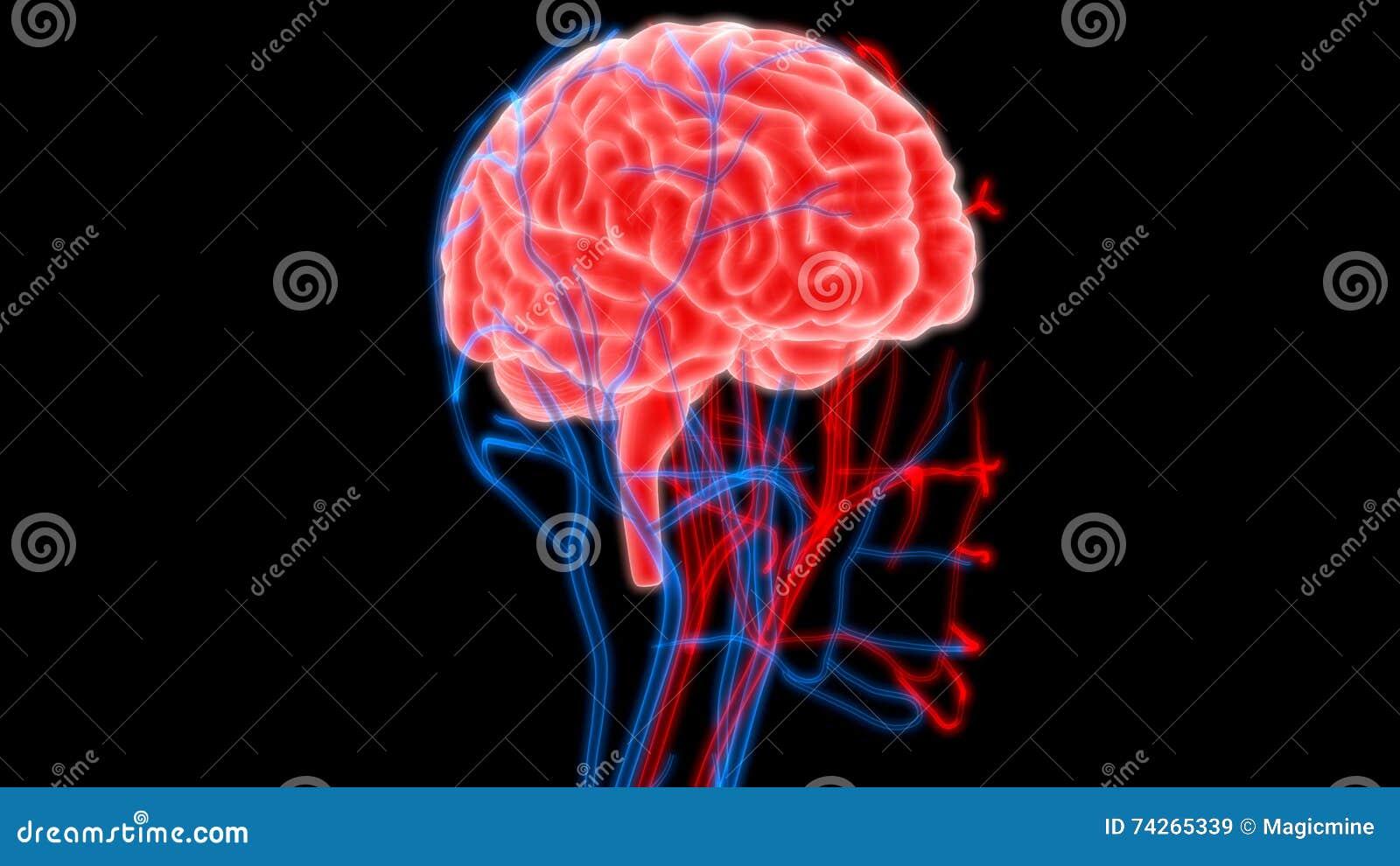 Ungewöhnlich Makroskopische Anatomie Des Gehirn Galerie - Anatomie ...