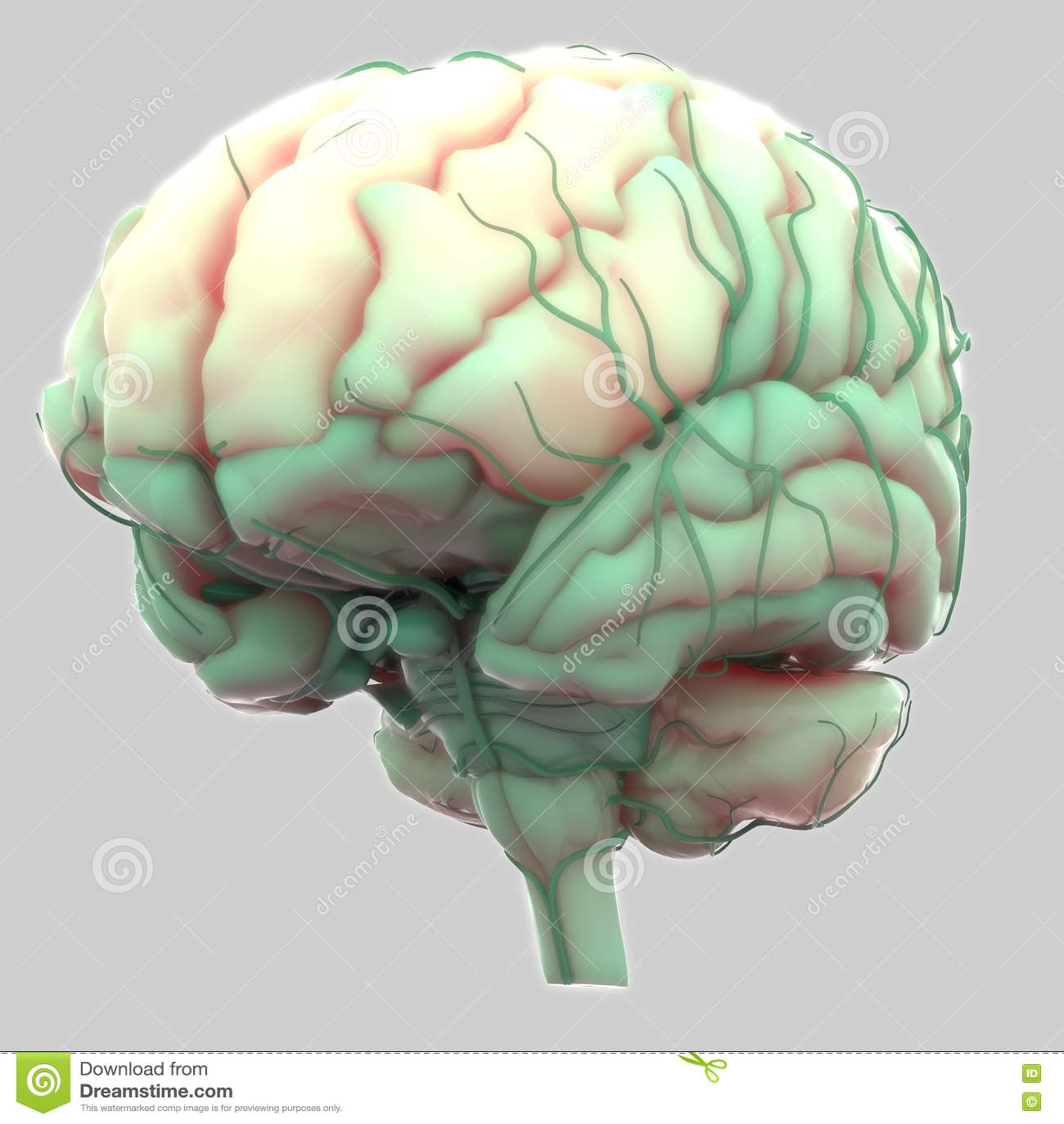 Menschliches Gehirn Mit Nerven-Anatomie Stock Abbildung ...