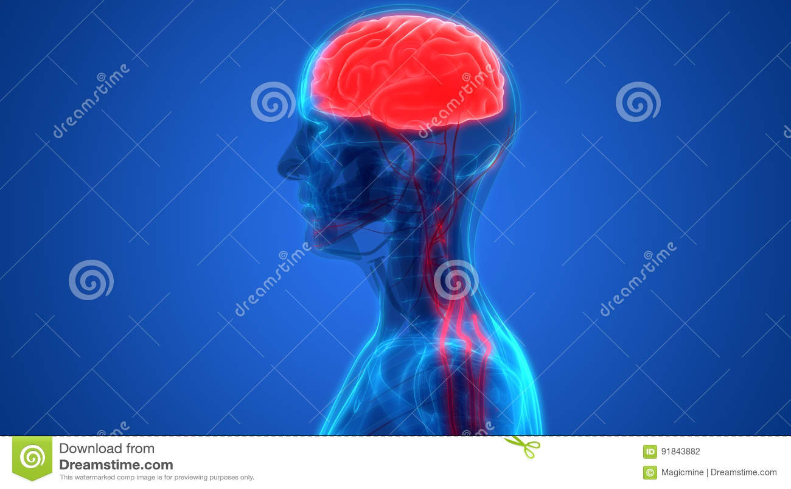 Menschliches Gehirn Mit Nervensystem-Anatomie Stock Abbildung ...