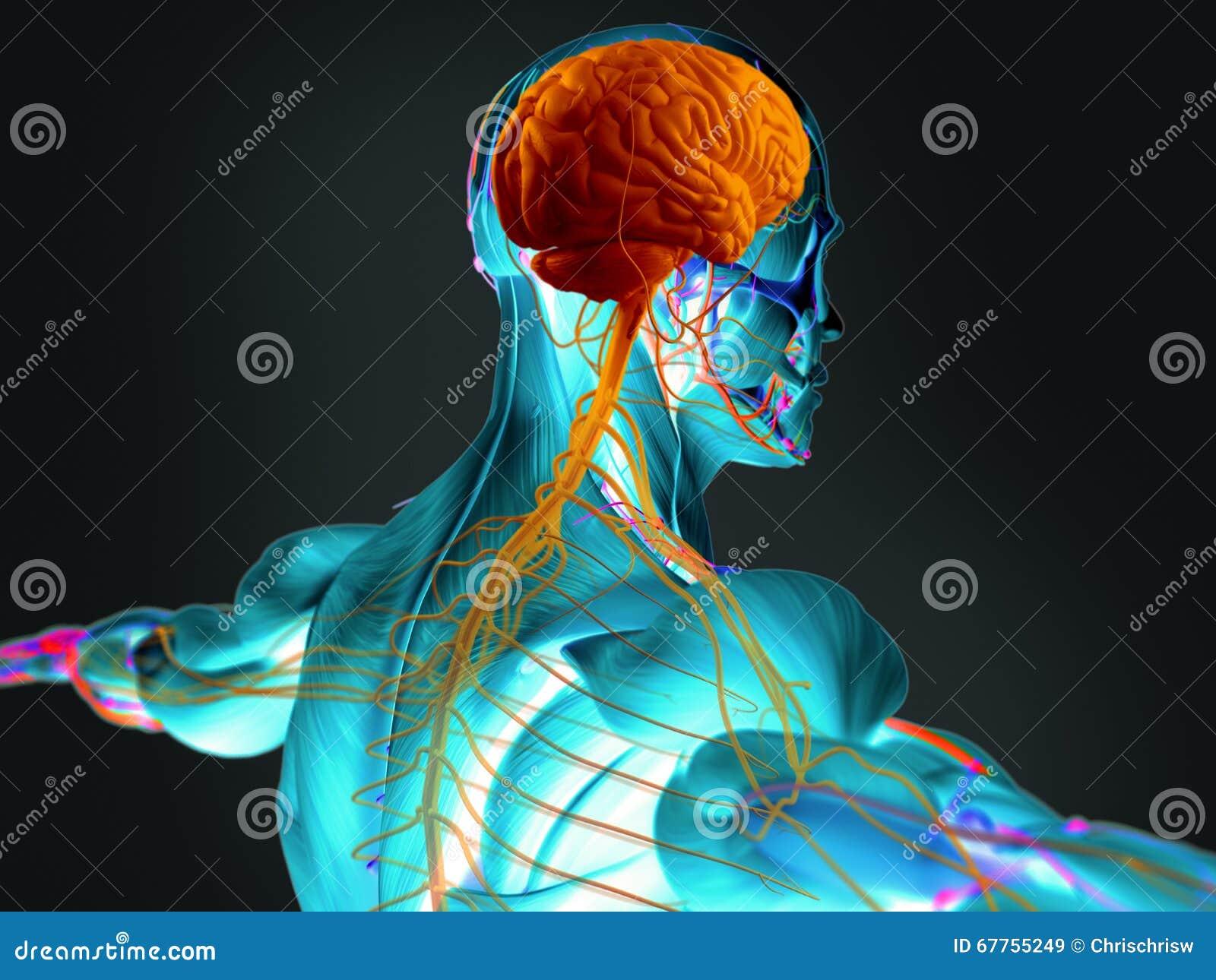 Menschliches Gehirn und nervöses sustem