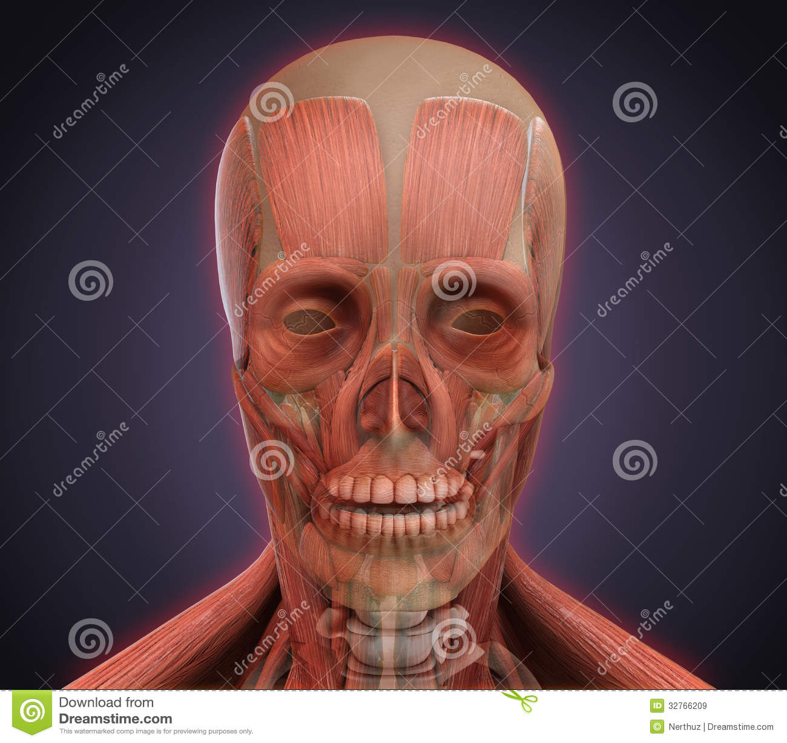 Menschliches Gesichts-Anatomie Stock Abbildung - Illustration von ...