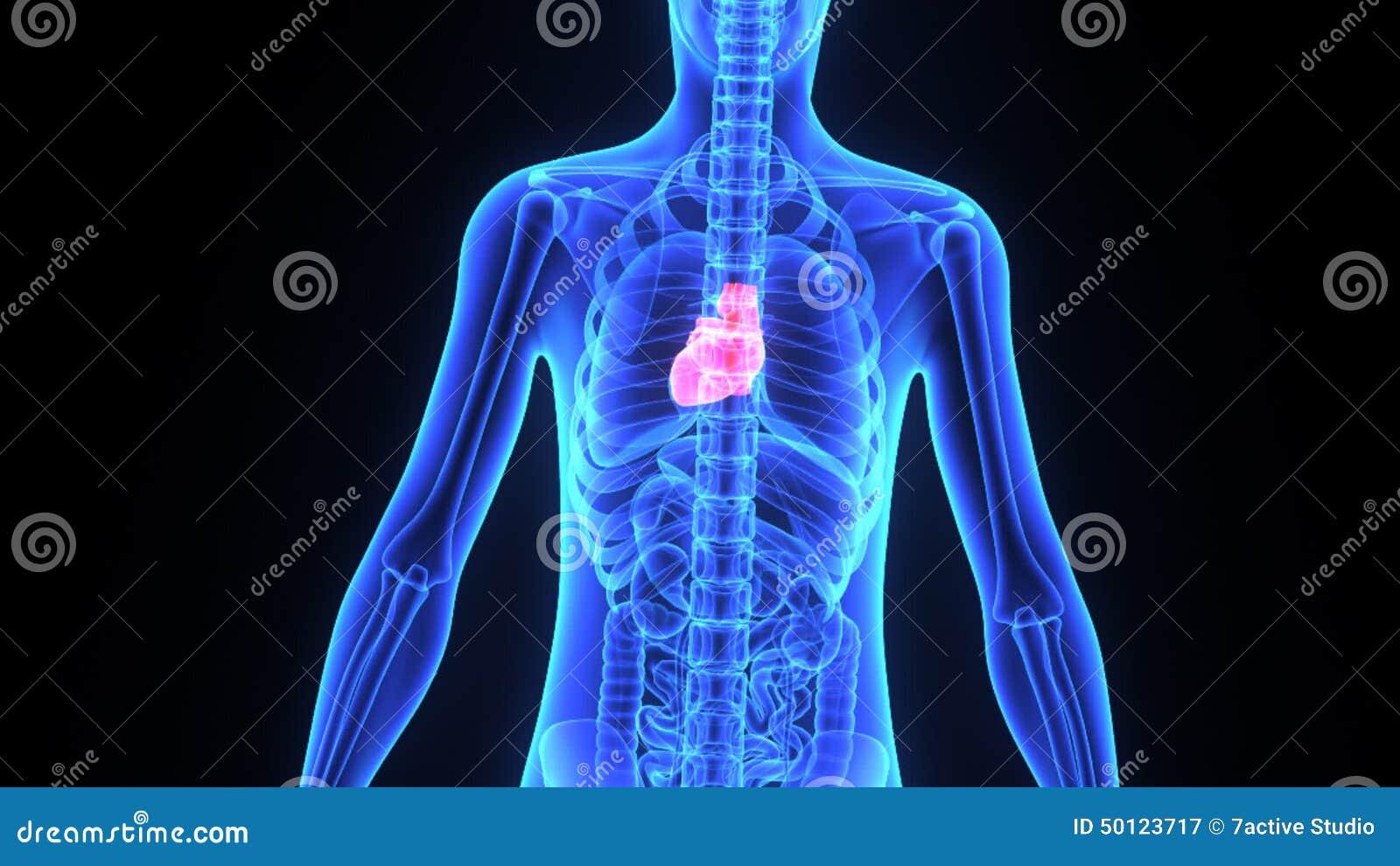 Menschliches Herz stock video. Illustration von anatomie - 50123717