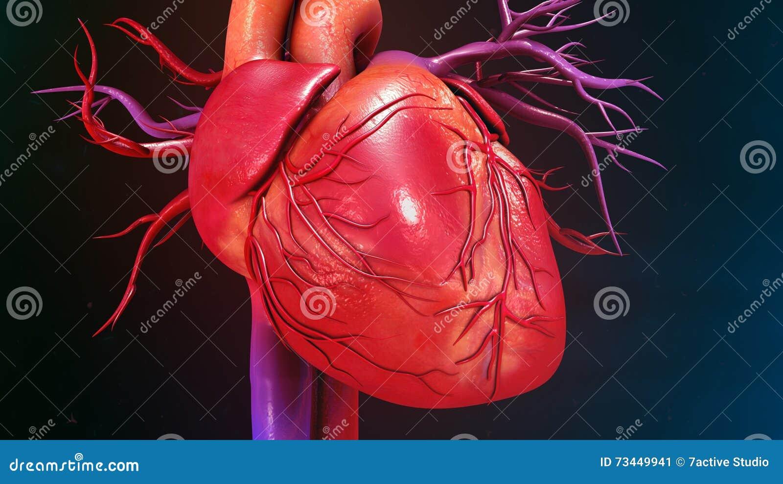Menschliches Herz stockbild. Bild von karotis, druck - 73449941