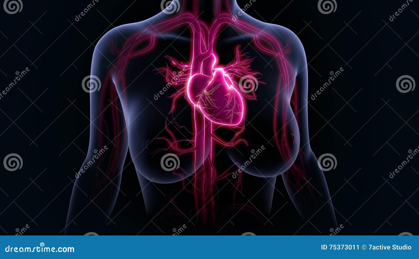 Menschliches Herz stockbild. Bild von scheidewand, beutel - 75373011