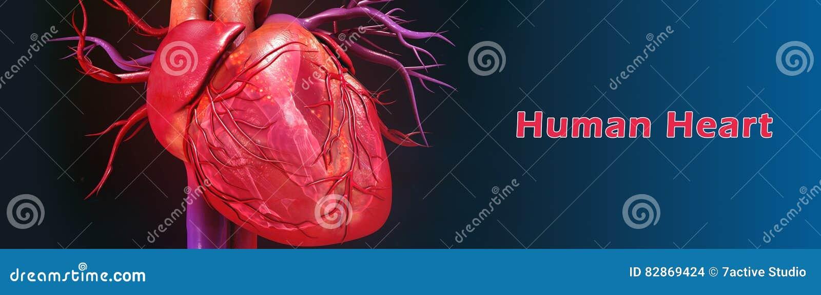 Menschliches Herz stock abbildung. Illustration von entspannung ...