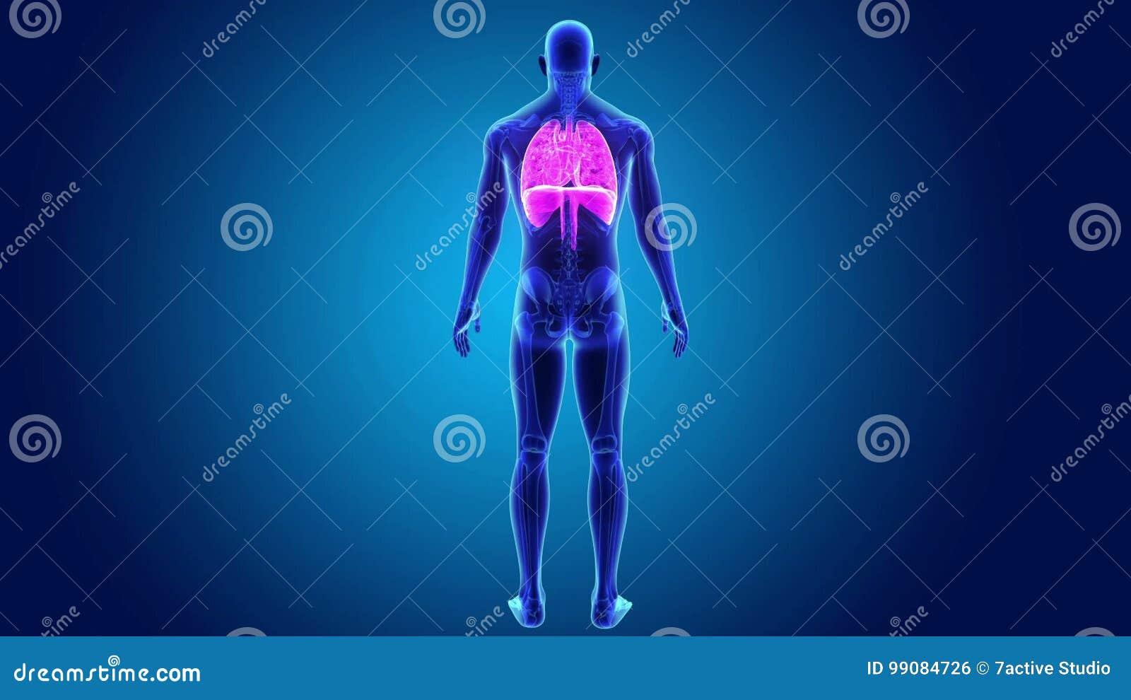 Menschliches Herz, Lungen Und Membran Summen Mit Skeleton Körper ...