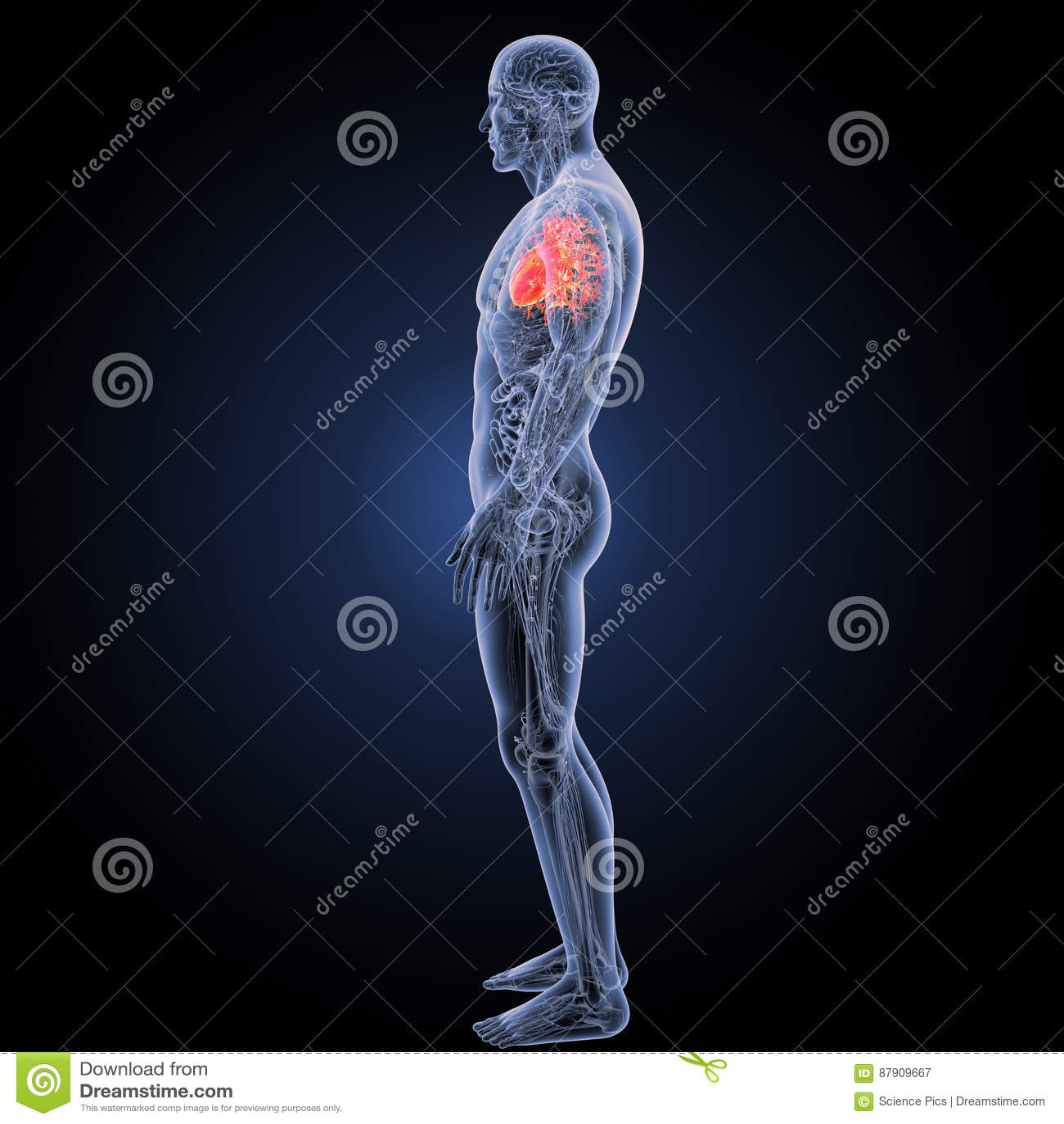 Menschliches Herz Mit Anatomieseitenansicht Stockbild - Bild von ...