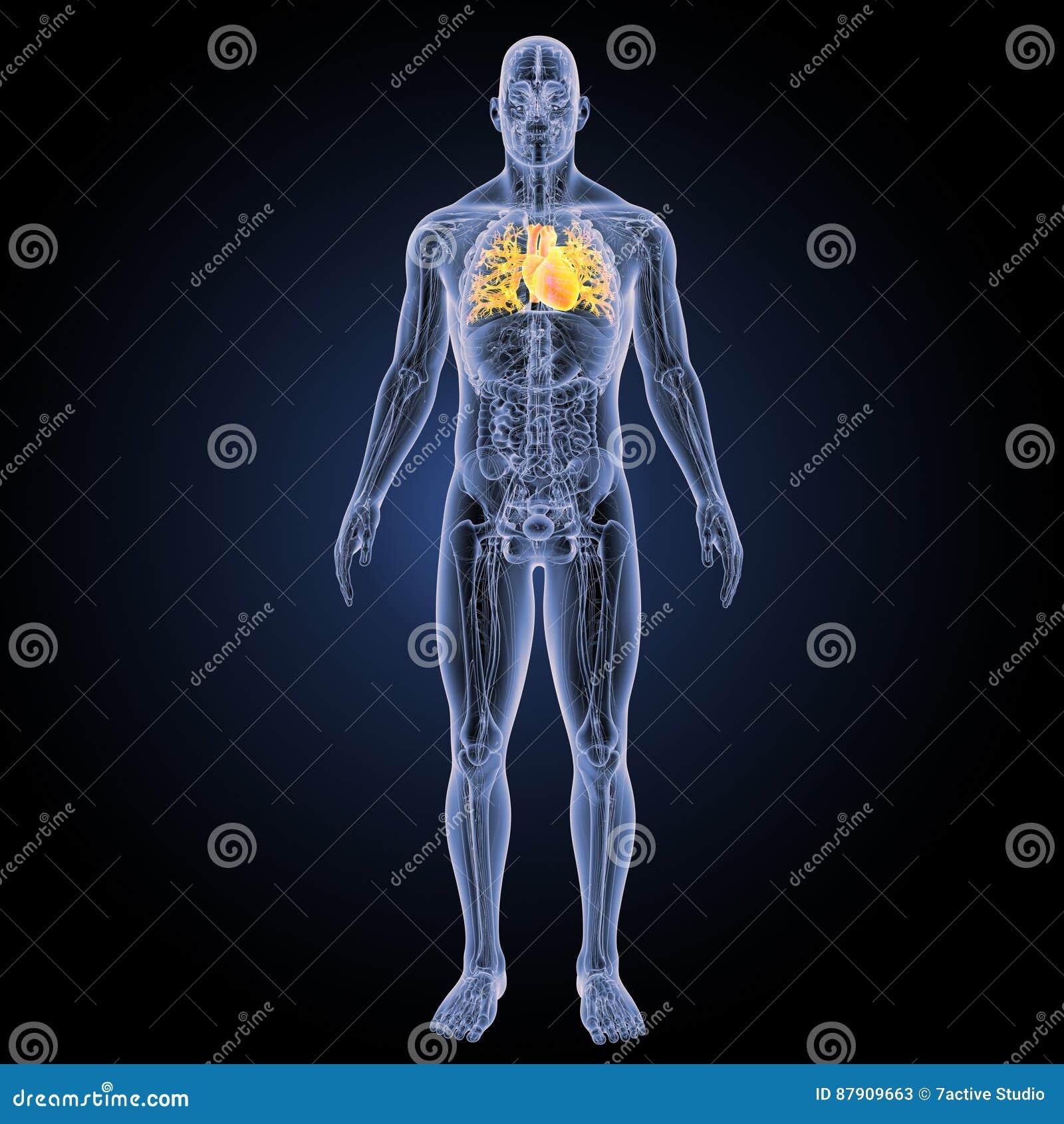 Menschliches Herz Mit Anatomievorderansicht Stockbild - Bild von ...