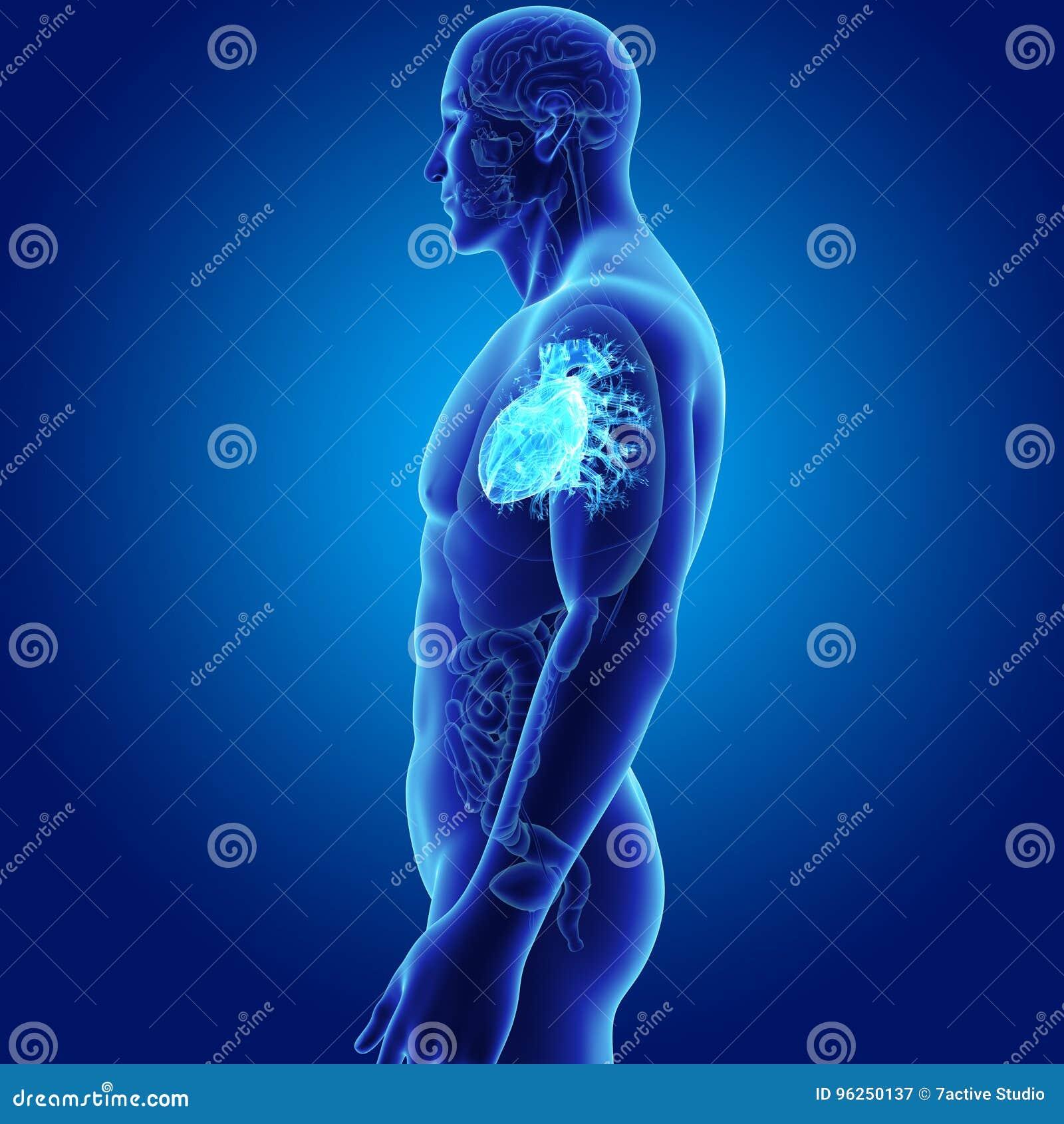 Menschliches Herz Mit Organseitenansicht Stock Abbildung ...