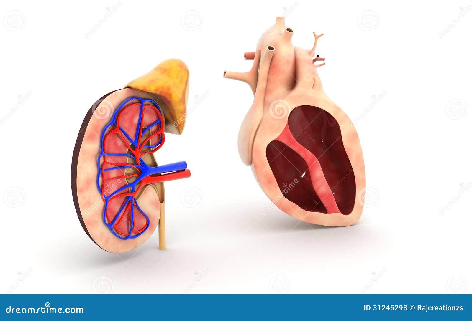 Menschliches Herz Und Niere Stock Abbildung - Illustration von leben ...