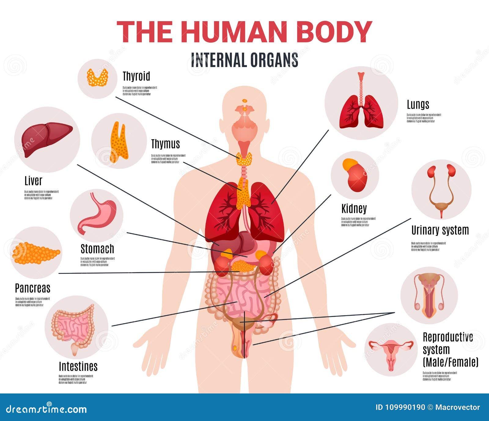menschliches infographic plakat der inneren organe vektor. Black Bedroom Furniture Sets. Home Design Ideas