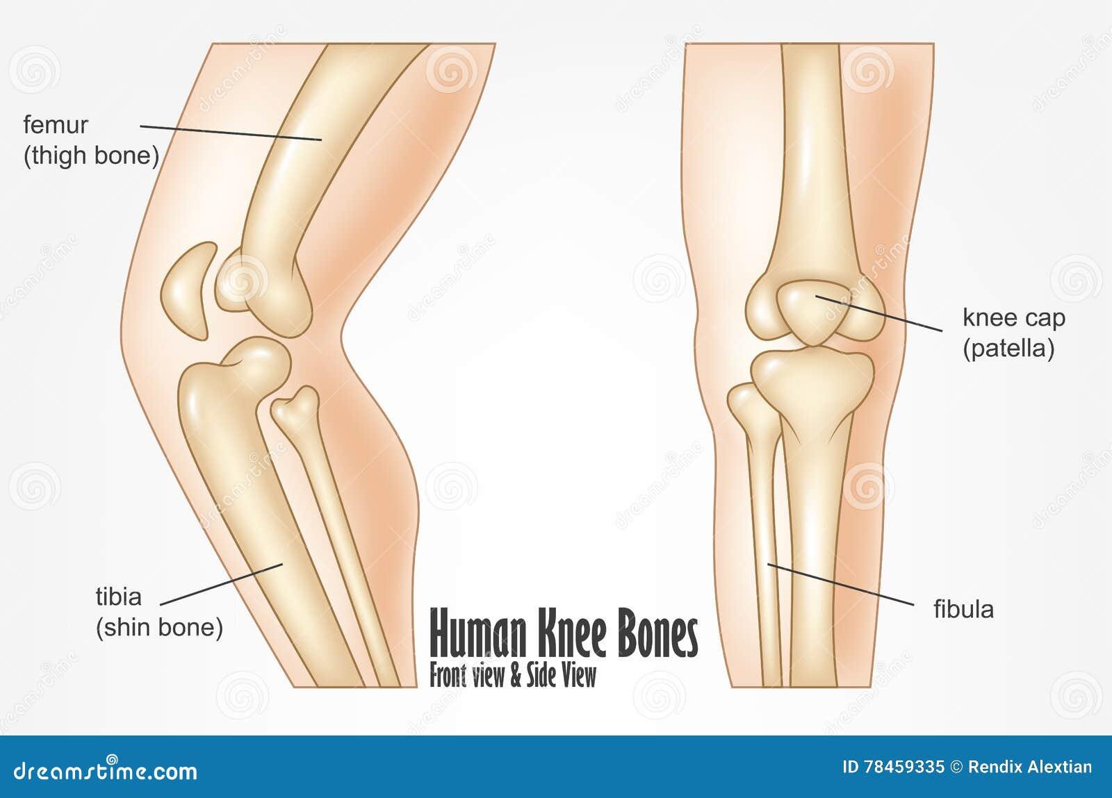 Menschliches Knie Entbeint Anatomie Der Vorderen Und Seitenansicht ...
