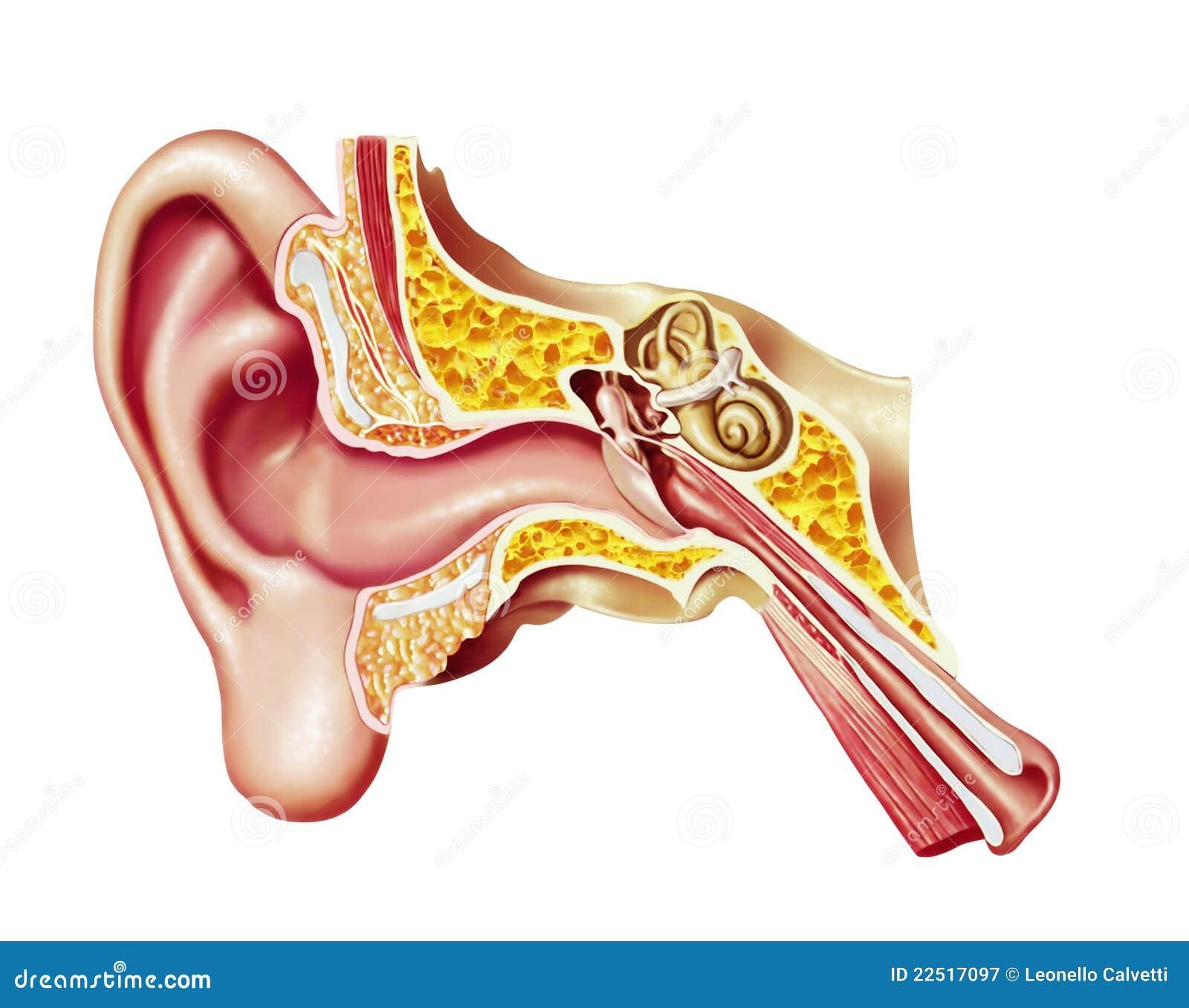 Menschliches Ohr, Realistisches Schnittdiagramm. Stock Abbildung ...