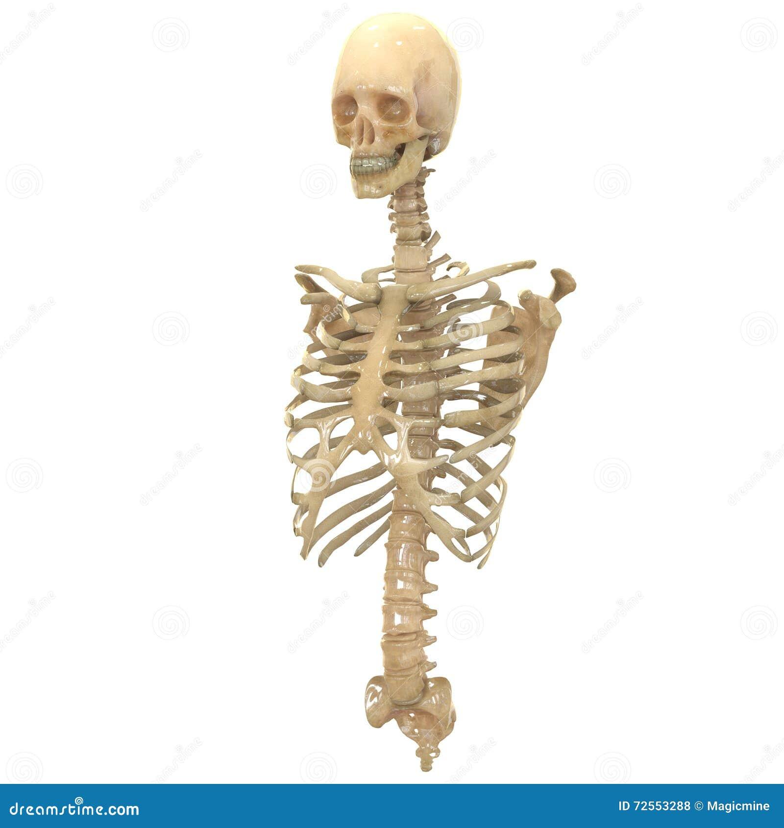 Menschliches Skeleton System (Knochen-Anatomie) Stock Abbildung ...