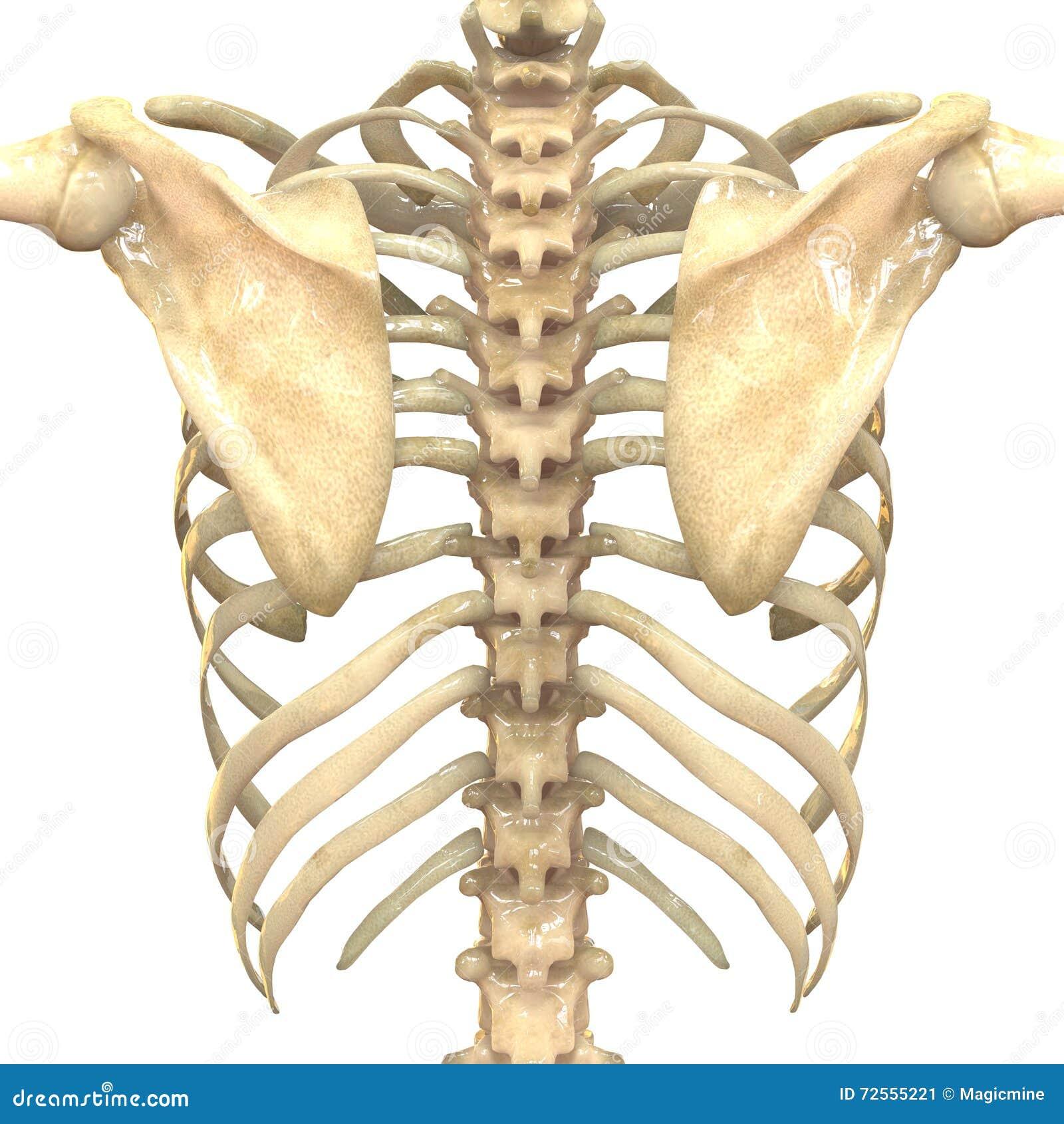Atemberaubend 3d Knochen Anatomie Galerie - Anatomie Ideen - finotti ...