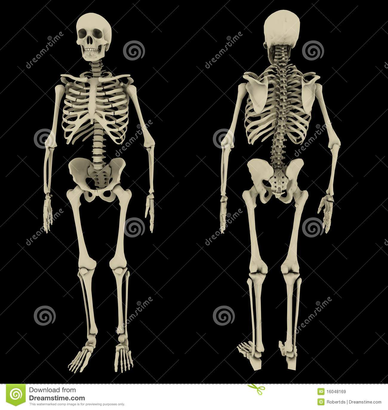 Menschliches Skelett Lizenzfreies Stockbild - Bild: 9679616