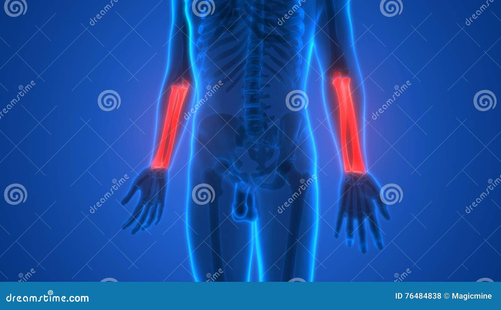 Menschliches Skelett Entbeint Anatomie (Radius-und Ellen-Knochen ...