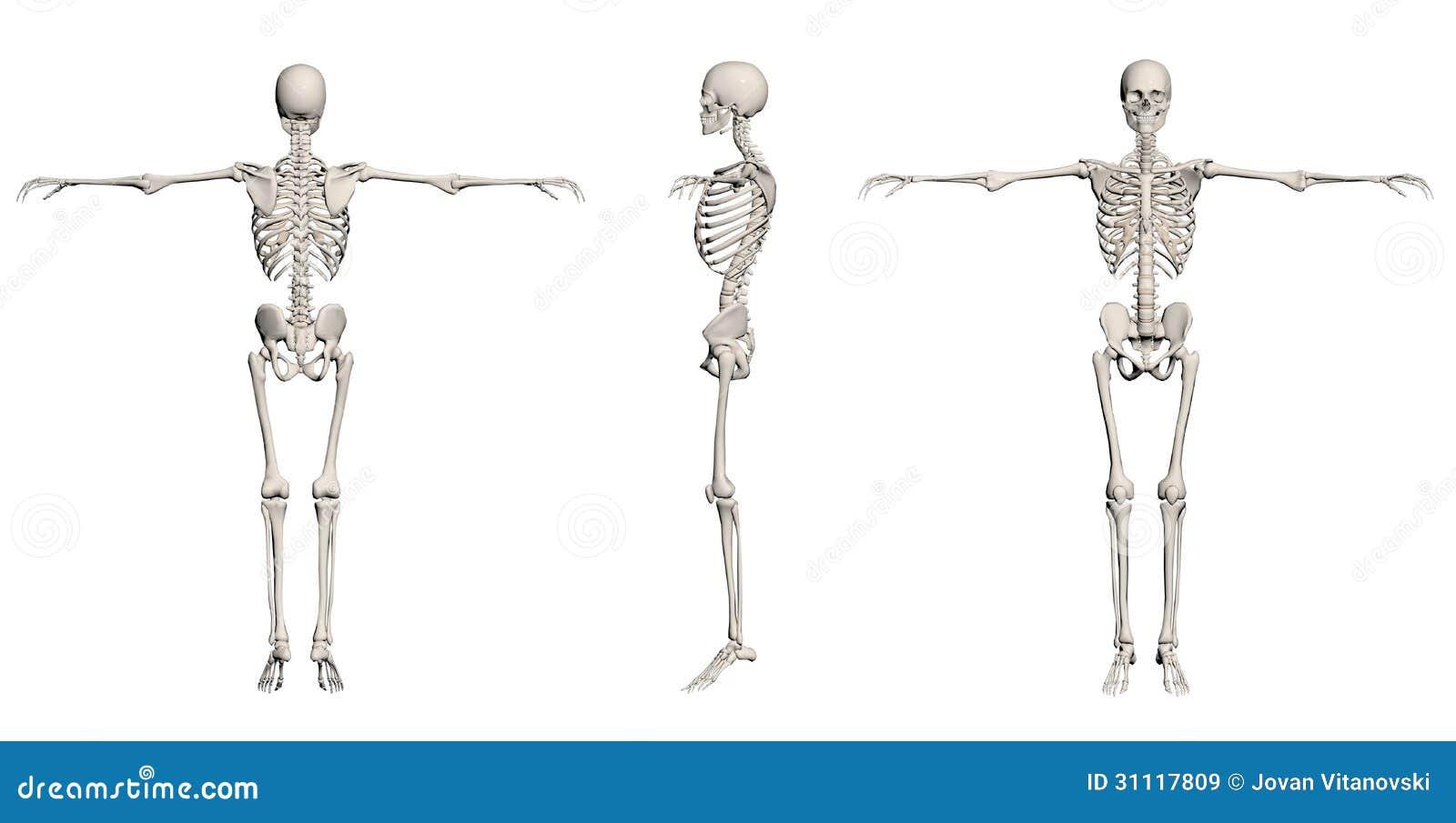 Menschliches Skelett - Mann Stock Abbildung - Illustration von ...