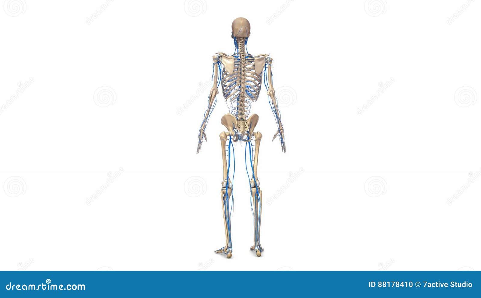 Beste Menschlicher Körper Skelett Gekennzeichnet Bilder ...