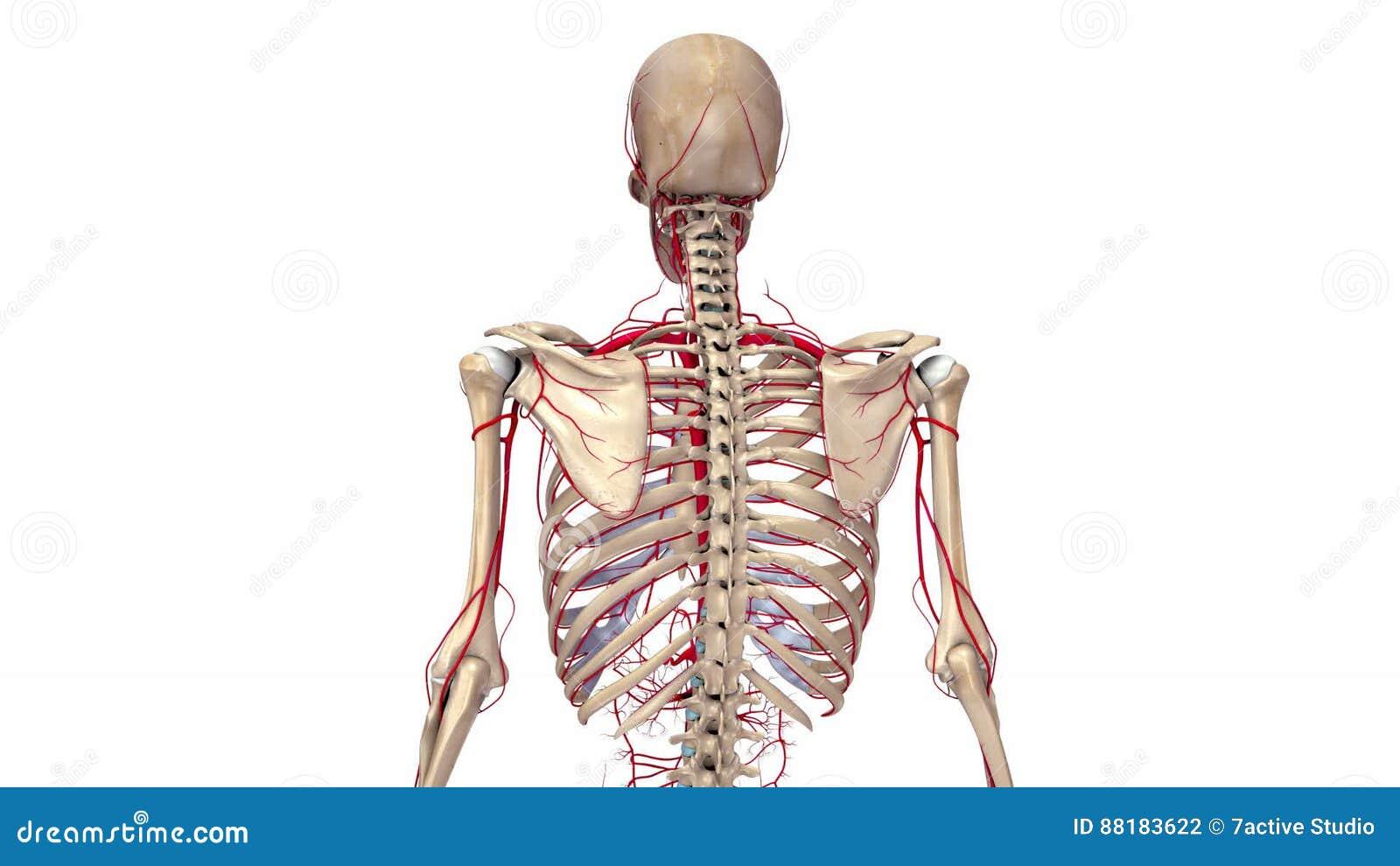 Groß Menschliches Skelett Knochen Bilder - Menschliche Anatomie ...