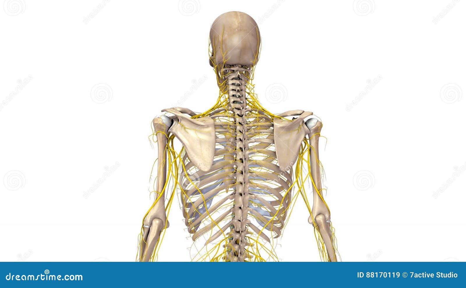 Ziemlich Skelett Und Muskelsystem Zusammenarbeiten Bilder - Anatomie ...