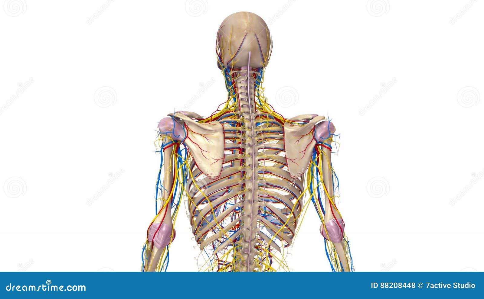 Menschliches Skelett Mit Ligamenten, Blutgefäßen Und Den Nerven ...