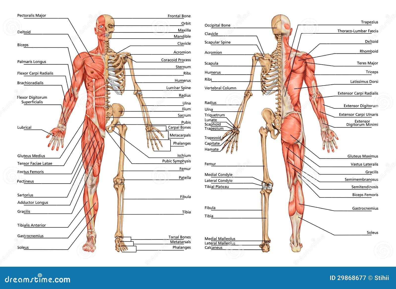 Nett Menschliches Skelett Anatomie Zeitgenössisch - Menschliche ...