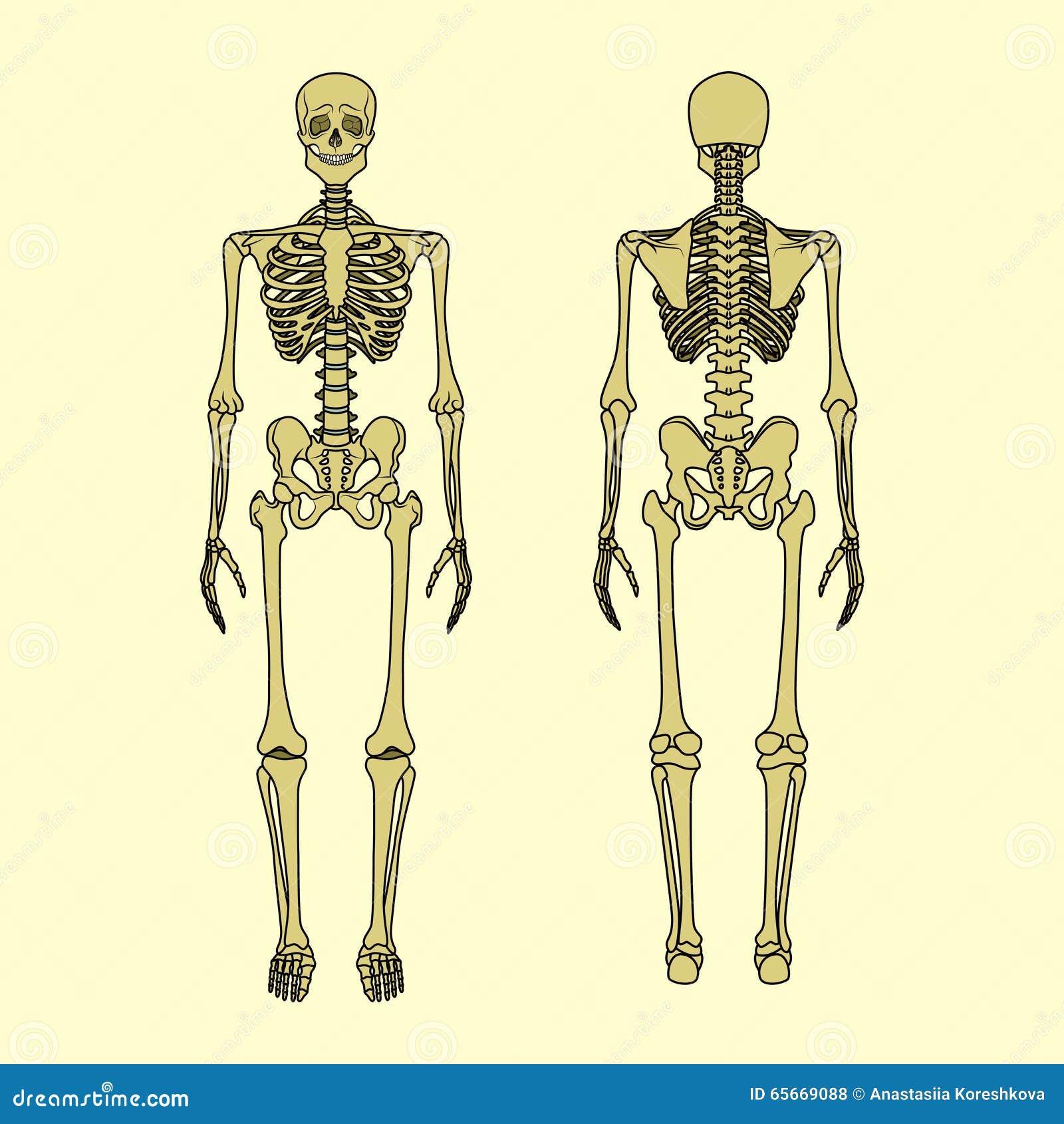 Gemütlich Skelett Syste Galerie - Anatomie Und Physiologie Knochen ...